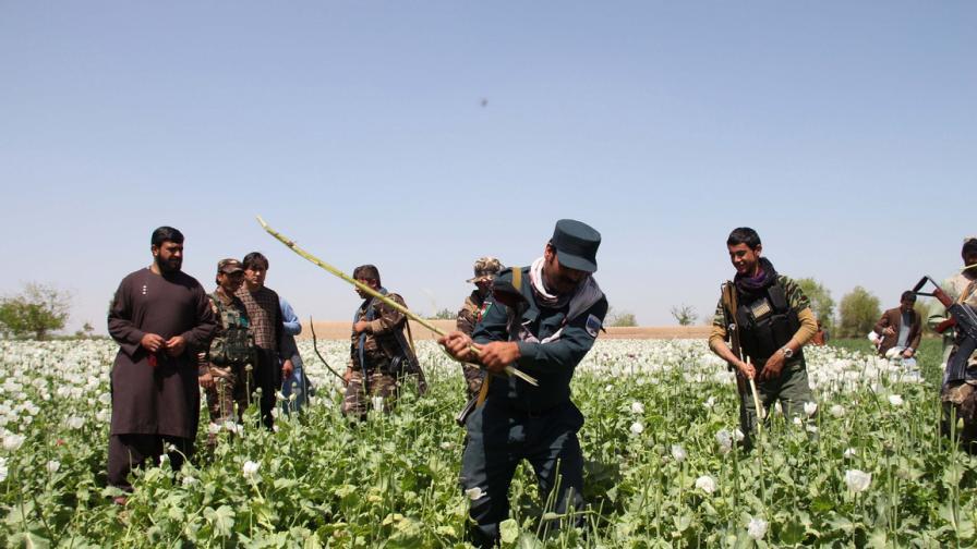 Унищожават маковите полета в Афганистан
