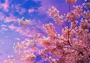 В Япония цъфнаха вишните сакура