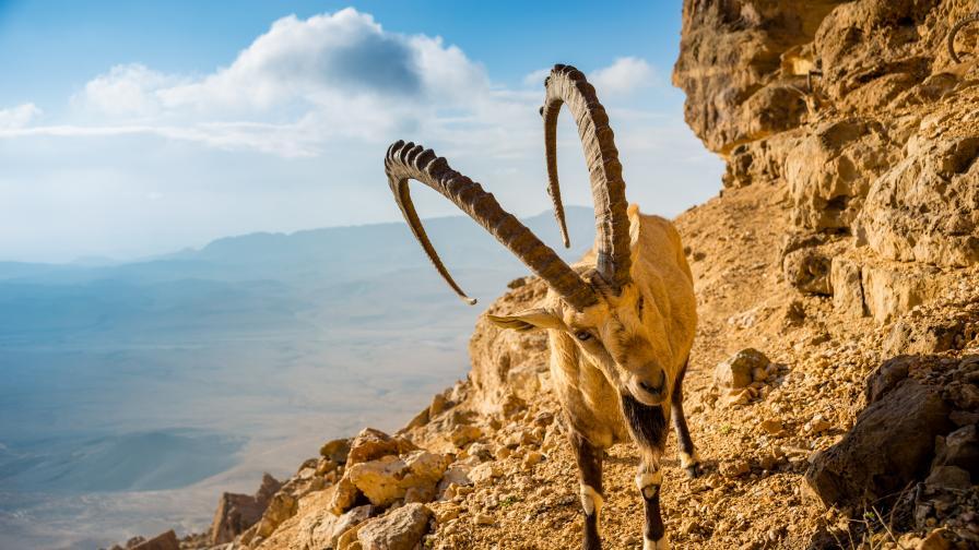 Нубийският козирог - как оцелява под жаркото пустинно слънце