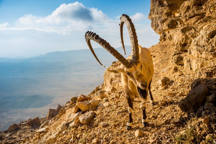 нубийски козирог