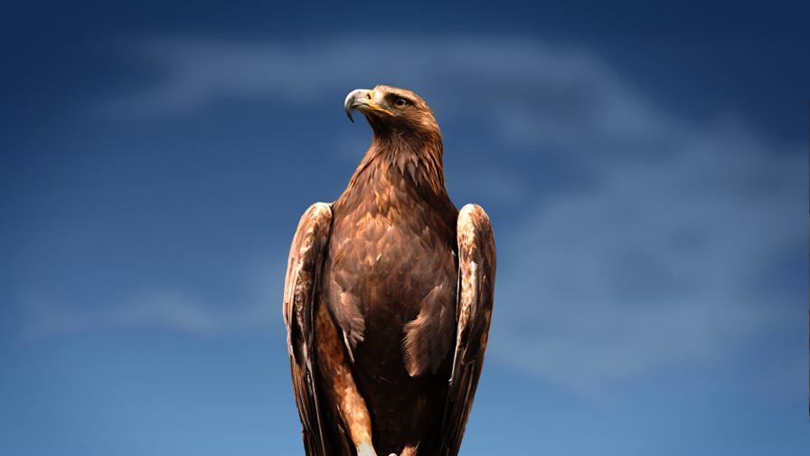 Скалният орел - как оцелява това величествено създание