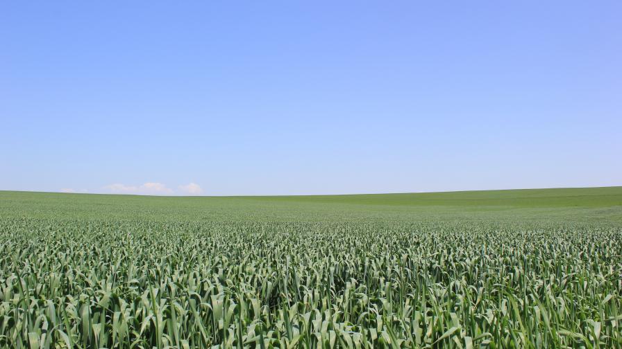 Листно подхранване на пшеница - силни посеви и по-висок добив