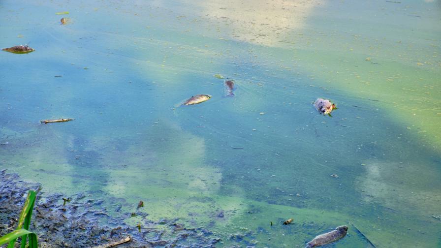Eкокатастрофа: Стотици килограми мъртва риба на брега на Варненското езеро