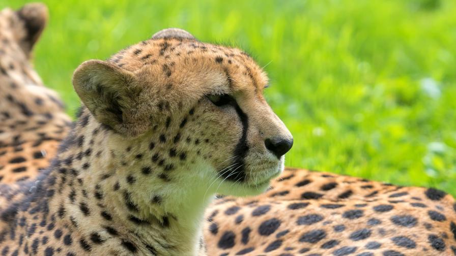 Най-рядката дива котка в света се появи отново след десетилетие