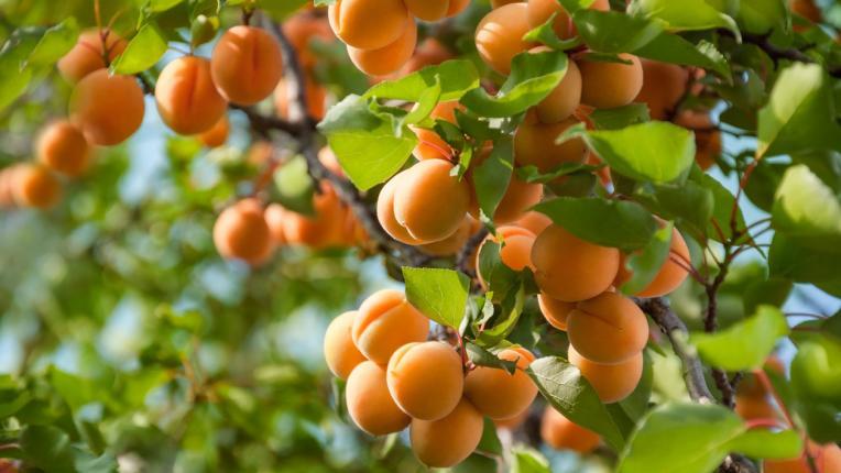 Кайсиите - най-очакваните плодове през лятото