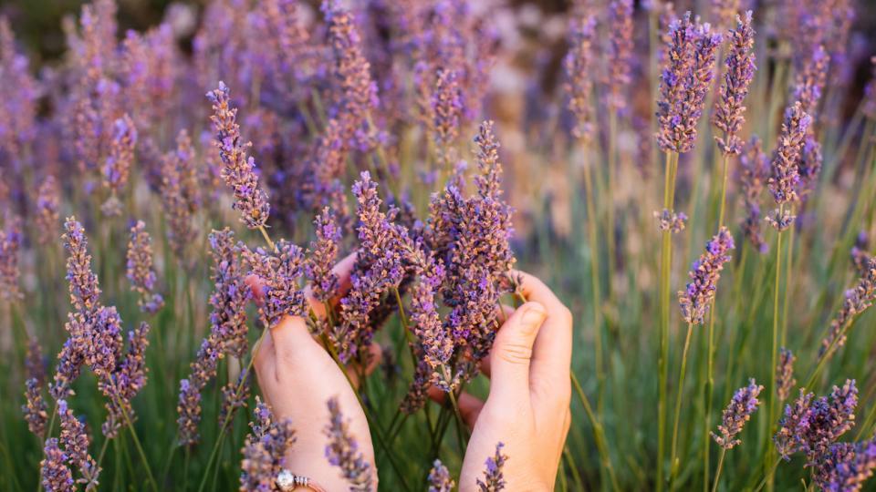 лято цветя лавандула