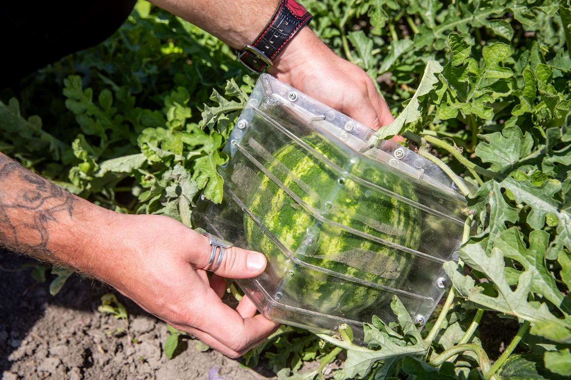 <p>Растящият плод се поставя в кутия - калъп в продължение на три седмици, през които динята&nbsp; придобива желаната форма</p>