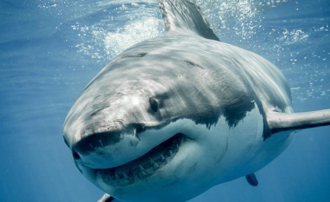 Какво кара големите бели акули да нападат хора?