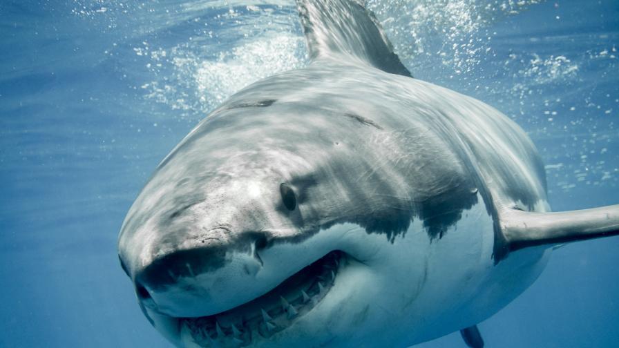 Сърфист скочи върху гърба на 3-метрова акула, за да спаси жена