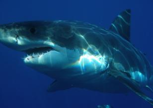 Акулите – зловещи и грациозни