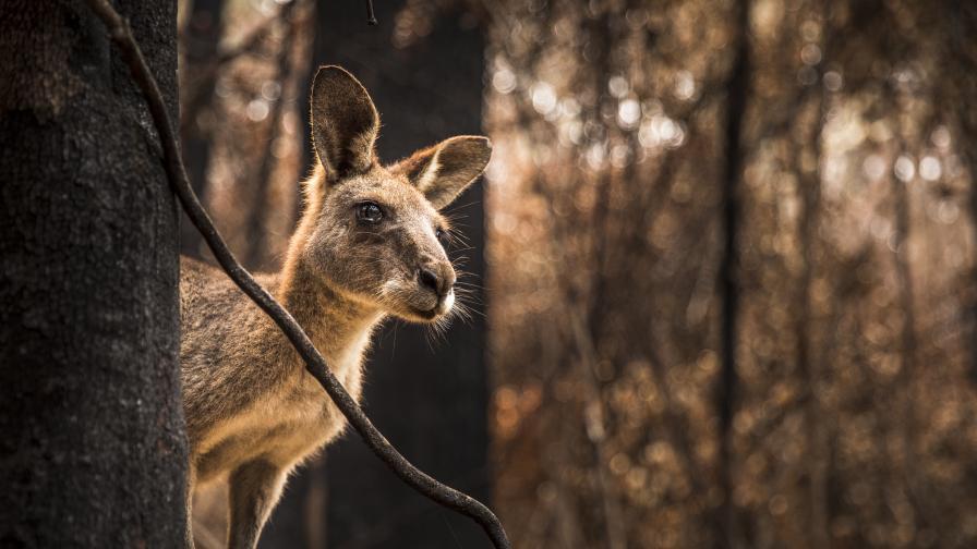 Пожарите в Австралия са убили и разселили близо 3 млрд. животни