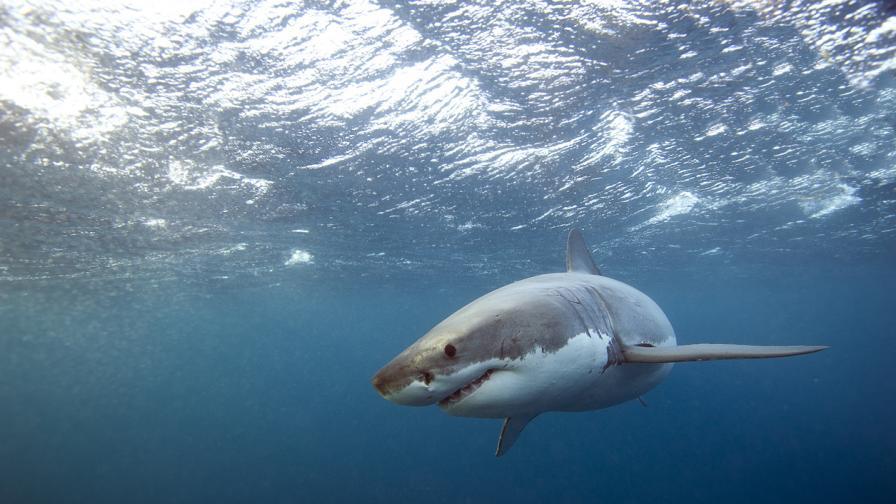 Голяма бяла акула разкъса жена във води без акули