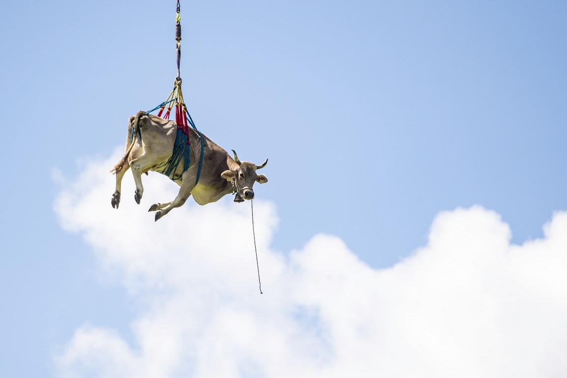 <p>По време на Боденфарт, фермерите преместват добитъка си от високи пасища обратно на долните Алпи, а някой крави, които имат проблем с ходенето са свалени с хеликоптер</p>  <p>&nbsp;</p>