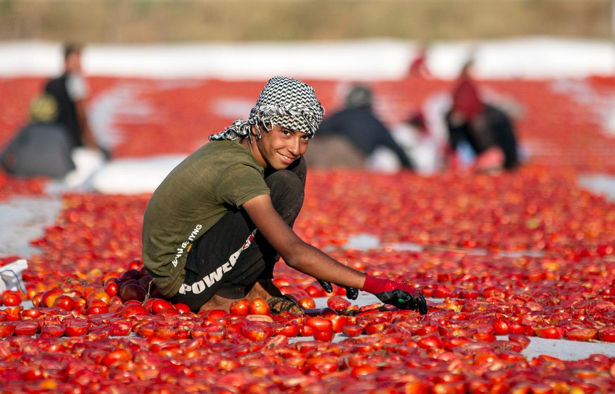 <p><br /> Сезонните работници, повечето от които са сирийски бежанци, нарязват събраните домати на половинки и ги подреждат, за да изсъхнат на слънце.</p>