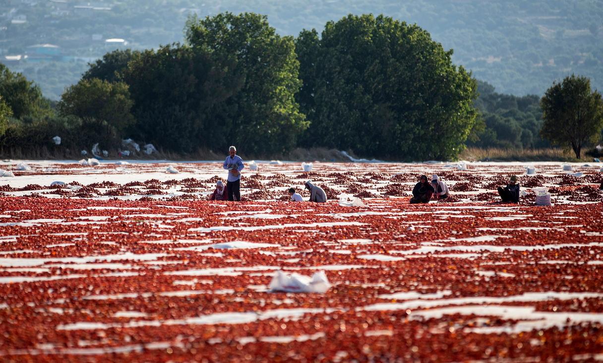<p>Поле с нарязани на половинки домати, за да ги изсуши слънцето, в квартал Торбали, Измир, Турция</p>