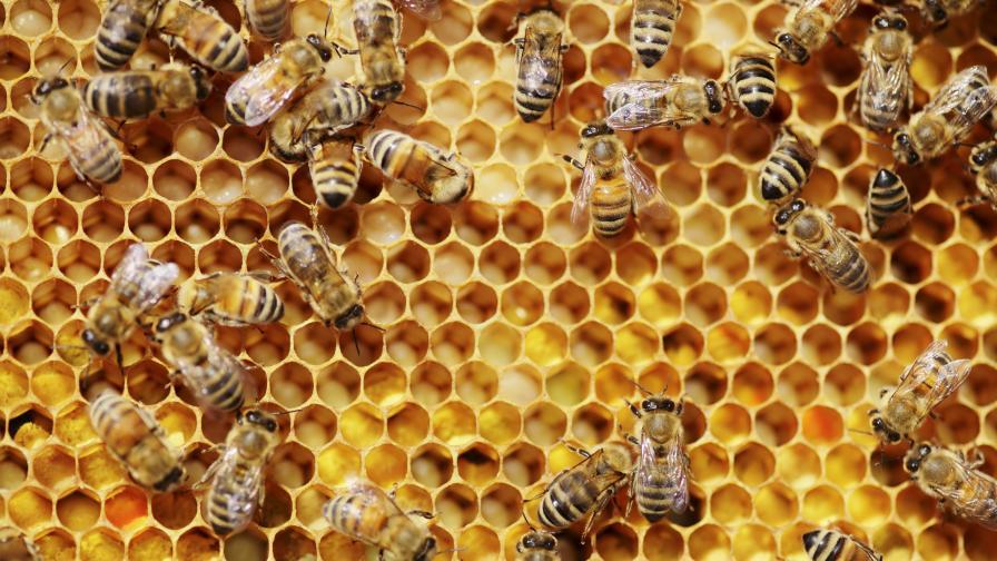 Изследване: Отровата на медоносните пчели убива клетките на рака на гърдата