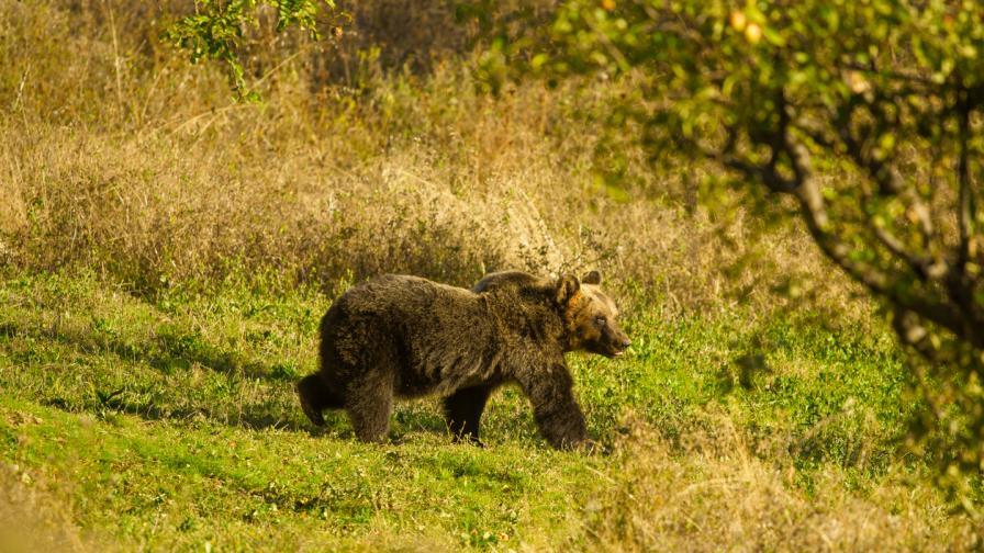 Каква е съдбата на кафявите мечки от Апенините