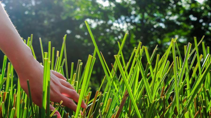 Невероятната билка, която сваля напрежението