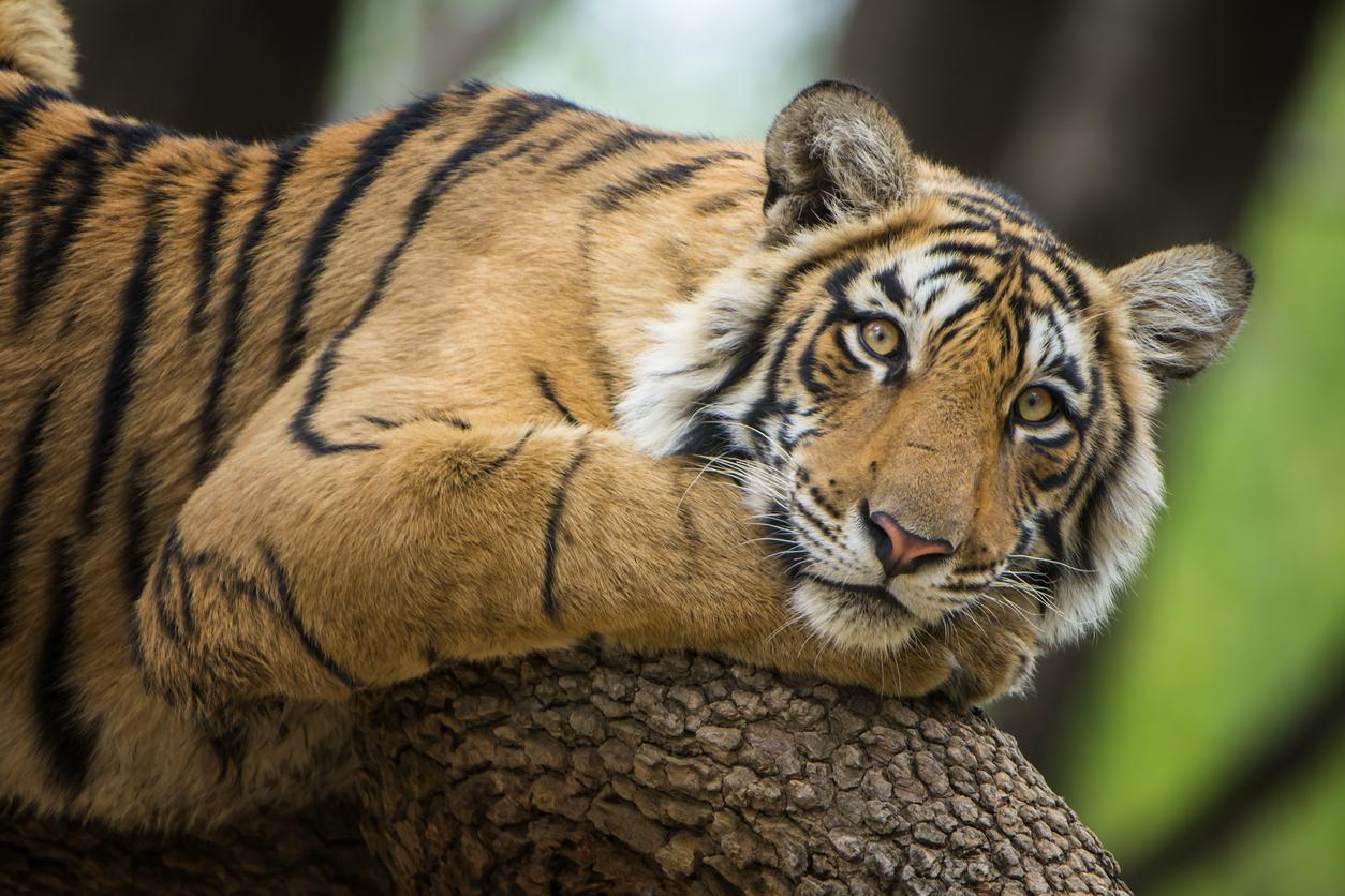 <p>7. В плен/ на свобода</p>  <p>В САЩ има повече тигри в плен, отколкото са останали в дивата природа.</p>