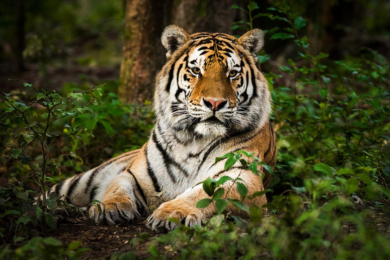 <p>3. Те защитават плячката си</p>  <p>Обикновено тигрите не се хранят с плячката си там, където са я хванали - а я отнасят на скришно място, за да се нахранят. Ако тигърът реши да напусне мястото, той ще покрие храната си с листа, трева и дори камъни.</p>