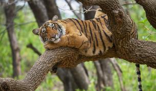 Любопитни факти за тигрите, които ще ви изумят