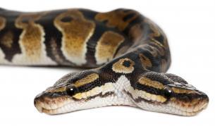 Ужасяващо: Американка откри двуглава змия в дома си