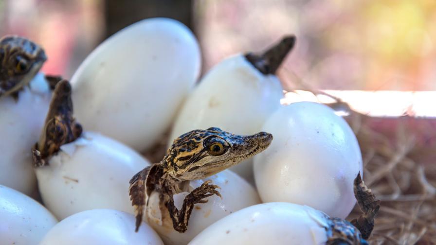 Любопитни факти за бебетата крокодили