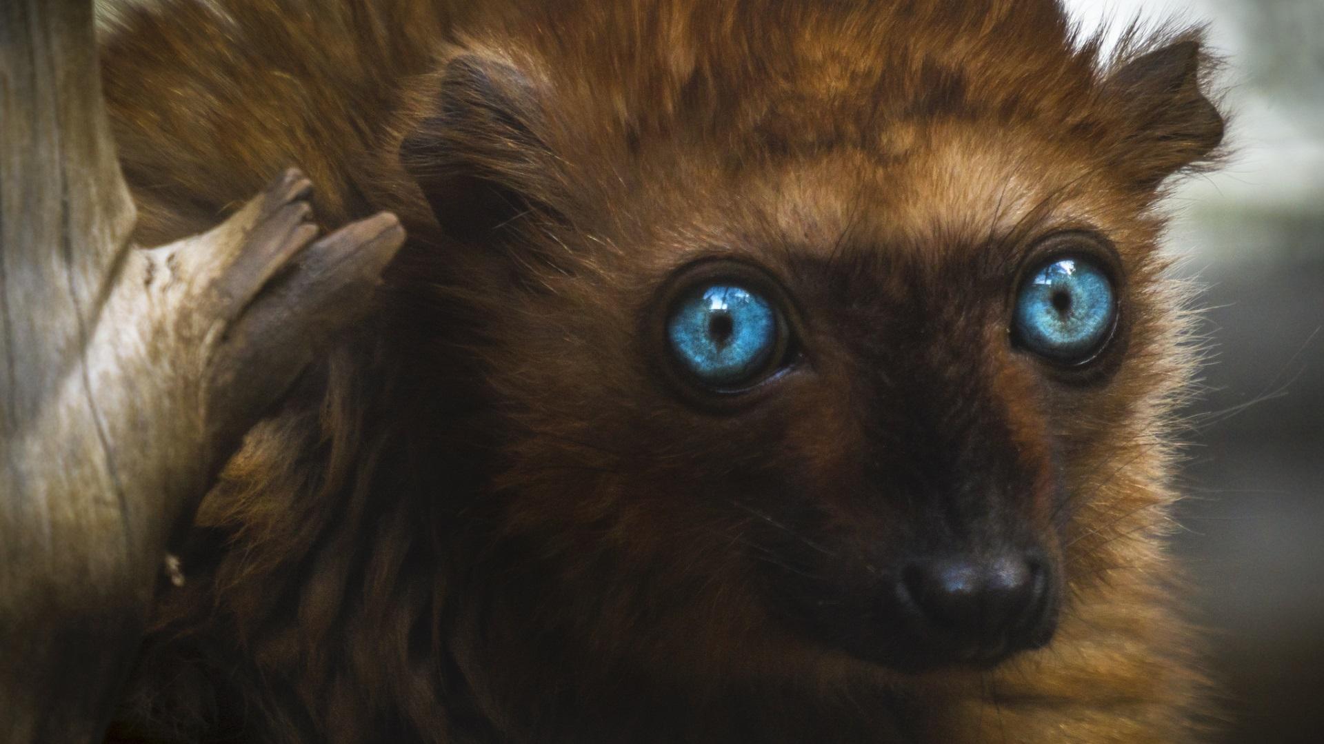 <p><strong>Сини очи</strong></p>  <p>Този застрашен жител на Мадагаскар е единственият примат освен хората, който може да има сини очи, с които са надарени и двата пола на животинчето.</p>