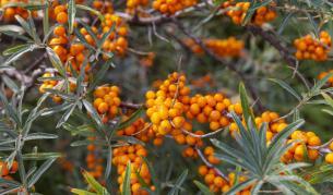 """Невероятните свойства на билката, наричана """"свещен плод"""""""