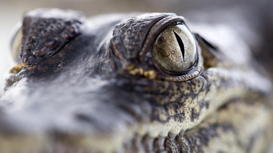 Момиче наби крокодил с голи ръце, за да спаси сестра си