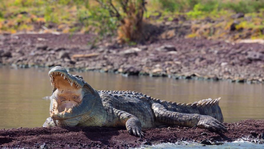 Ужасяващи и опасни: Крокодилите, които нападат без да са провокирани
