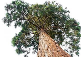 Край Кюстендил расте уникална гора от секвои