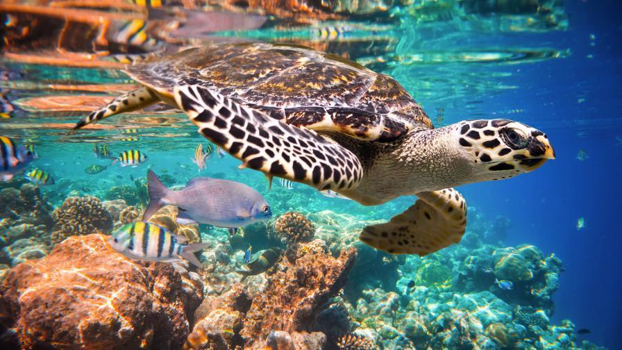 Заплаха дебне ястребоклюните морски костенурки в южната част на Тихия океан