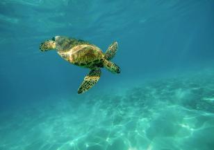 Какви заплахи дебнат ястребоклюните морски костенурки