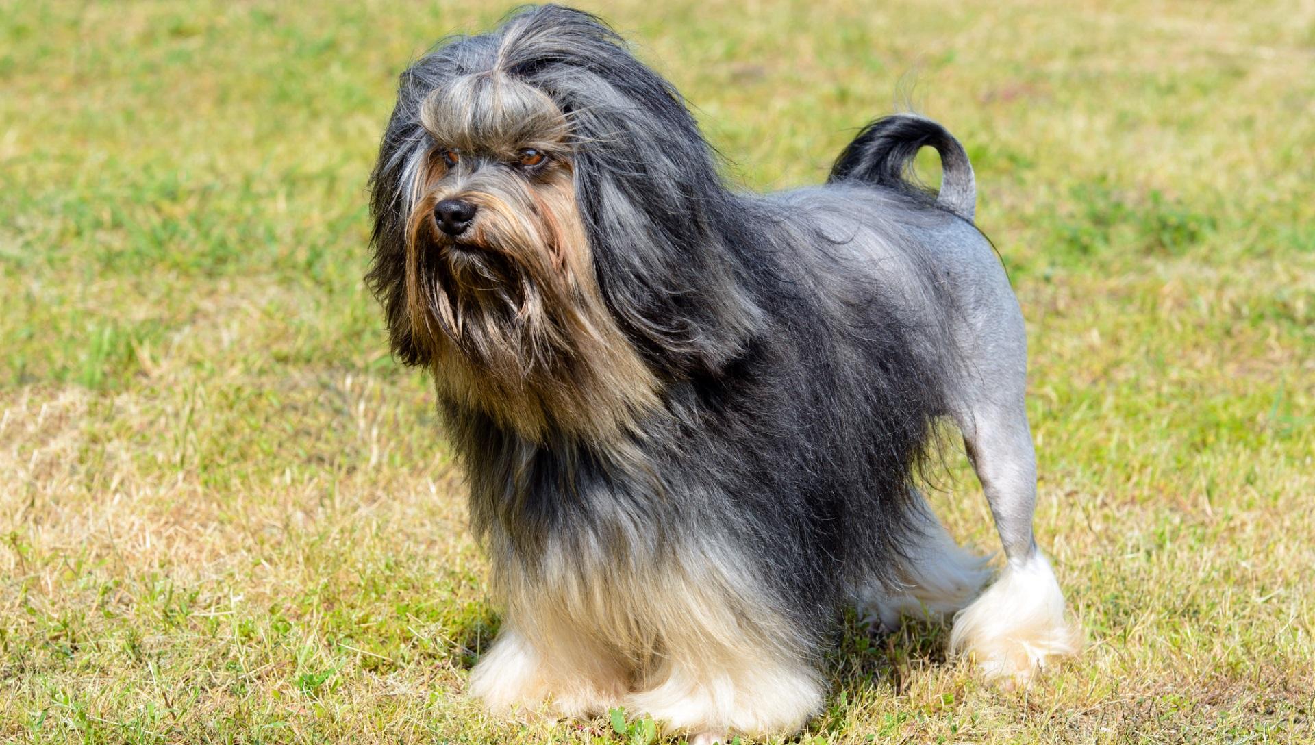 <p><strong>Лъвско куче</strong></p>  <p>Това куче е известно като малко куче-лъв в Американския киноложки клуб за неспортни кучета. Една от най-редките и уникални породи кучета в света. всяка година в света новите екземпляри са не повече от няколко стотин. Цената на кутре от тази порода е минимум 7000 долара.</p>
