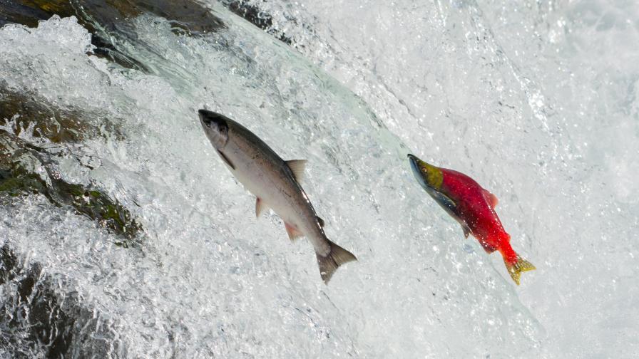 Защо рибите плуват срещу течението