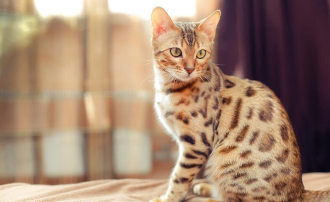 Това са най-умните породи котки