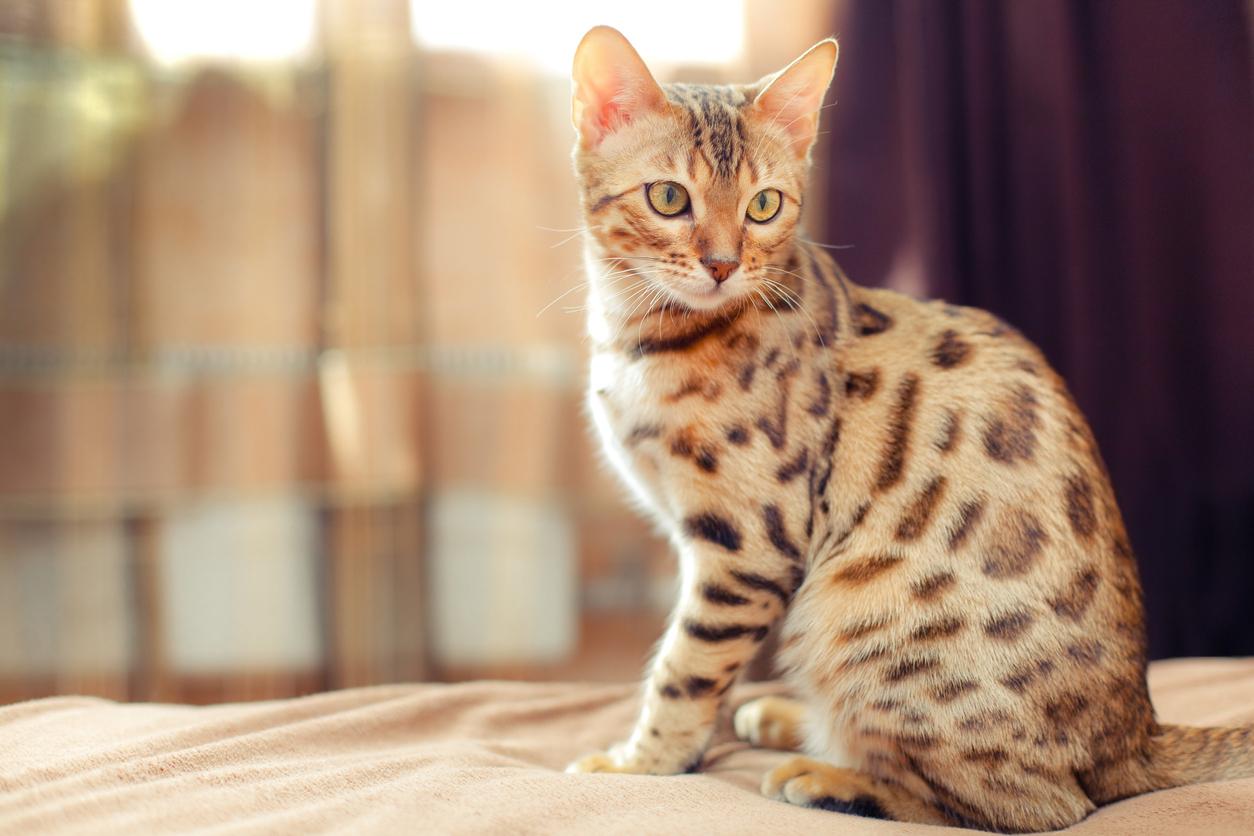 <p><strong>Бенгалска&nbsp;котка -&nbsp;</strong>Тази порода е известна най-вече със своя екзотичен вид и впечатляващите си размери. Това е единствената порода котки, която има петниста шарка и прилича на микс между ягуар и леопард. Тази порода произхожда от кръстоската на домашна котка с азиатска леопардова котка. Атлетични и грациозни, те са по-големи от повечето домашни котки. Ако се спрете на тази порода, трябва да знаете, че тя има нужда от пространство в дома ви, за да изразходва енергията си.&nbsp;</p>