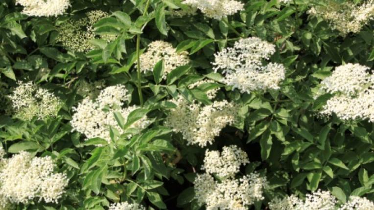 Трите най-добри билки срещу вируси