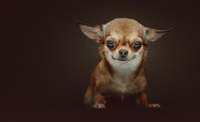 Дребни породи кучета, подходящи за домашни любимци