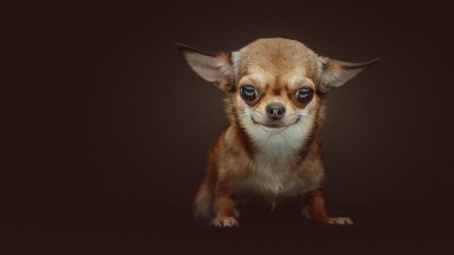 <p>Дребни породи кучета, подходящи за домашни любимци</p>
