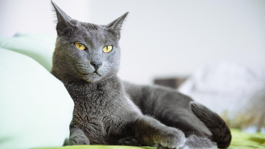 <p>Легендарната руска синя котка</p>