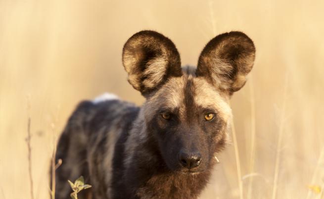 Уникалните хиенови кучета - какво ги застрашава