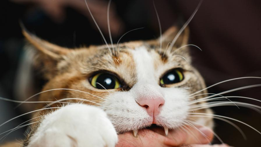 Породите котки с най-ужасен характер