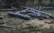 Скандална сеч на дървета край Черноморец