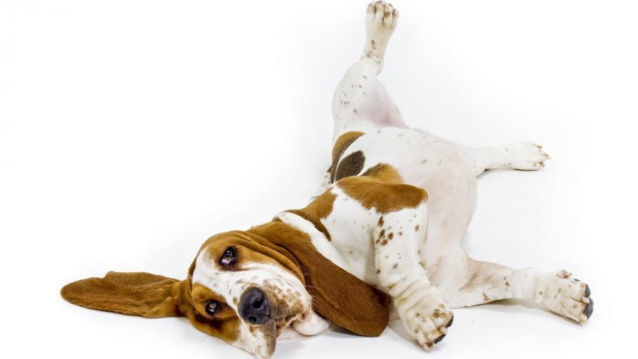 <p>Най-мързеливите породи кучета</p>