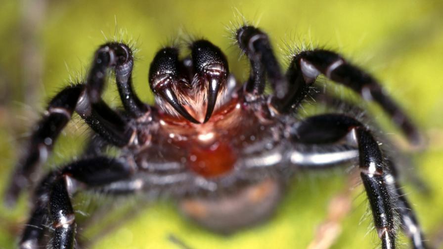 След ковид и наводненията, напаст от кошмарни паяци в Австралия