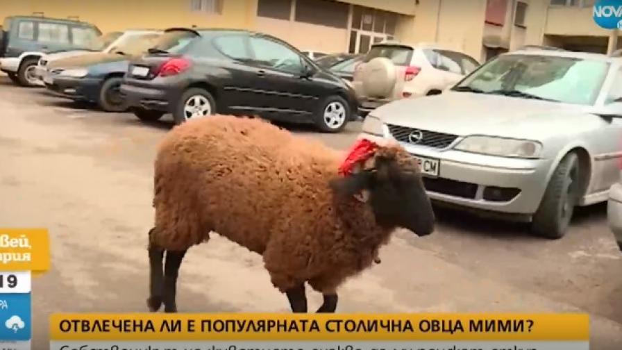Издирват овцата Мими, собственикът смята, че е отвлечена