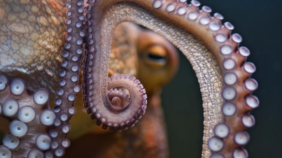 Ядосан октопод преби мъж в Австралия
