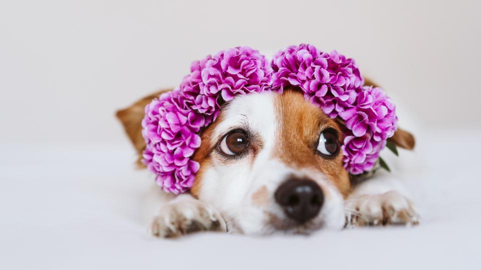 куче хороскоп пролет